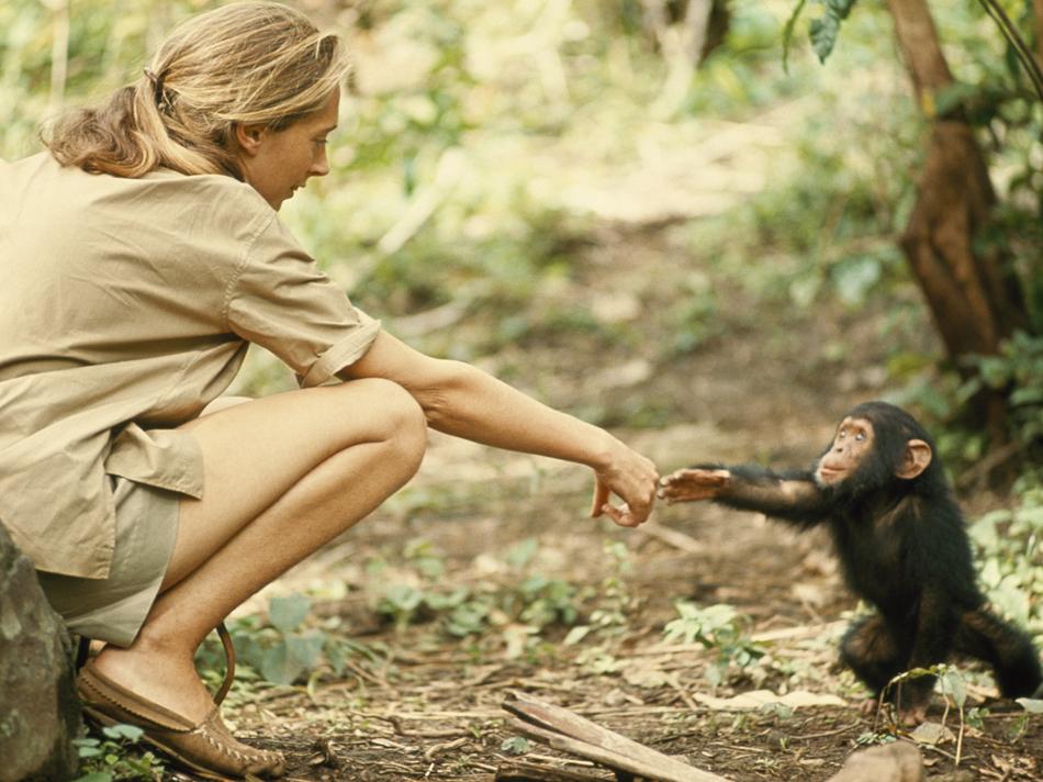 Jane-Goodall-Chimp