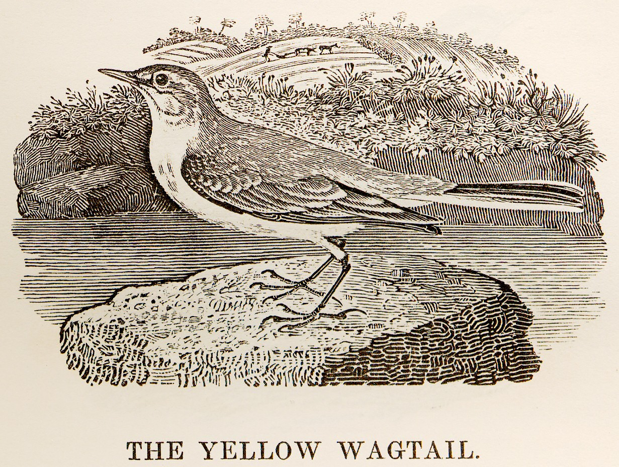 Yellow_Wagtail_woodcut_in_Bewick_British_Birds_1797.jpg